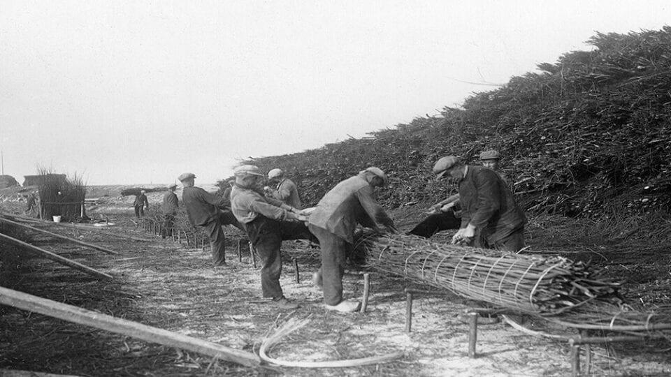 Oude foto van het werk aan de Afsluitdijk. In 1920 wordt het riet gebonden om te helpen bij de opbouw van de Afsluitdijk. Je ziet het riet in het midden en links en rechts zetten mannen het riet vast.