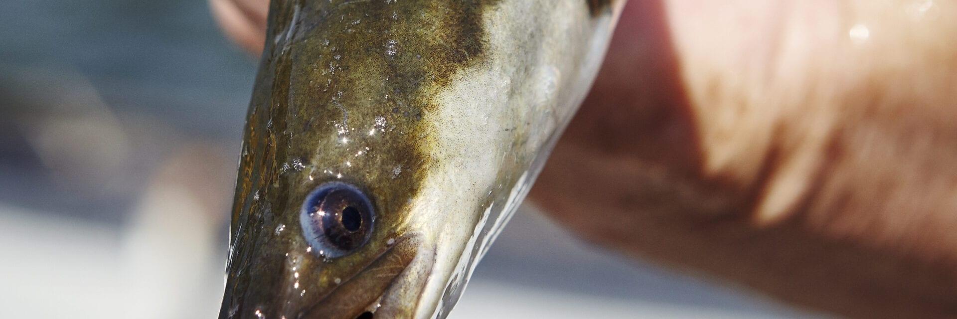 Vis uit het gebied van de Vismigratierivier. Wij kijken recht tegen de vis aan. Wij zien alleen zijn kop en oog. Iemand heeft de vis in een hand.