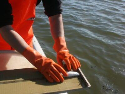 Onderzoek met zegenvisserij bij de Vismigratierivier. Wij zien twee handen in oranje handschoenen en zij meten een vis op. Op de achtergrond zie je water.